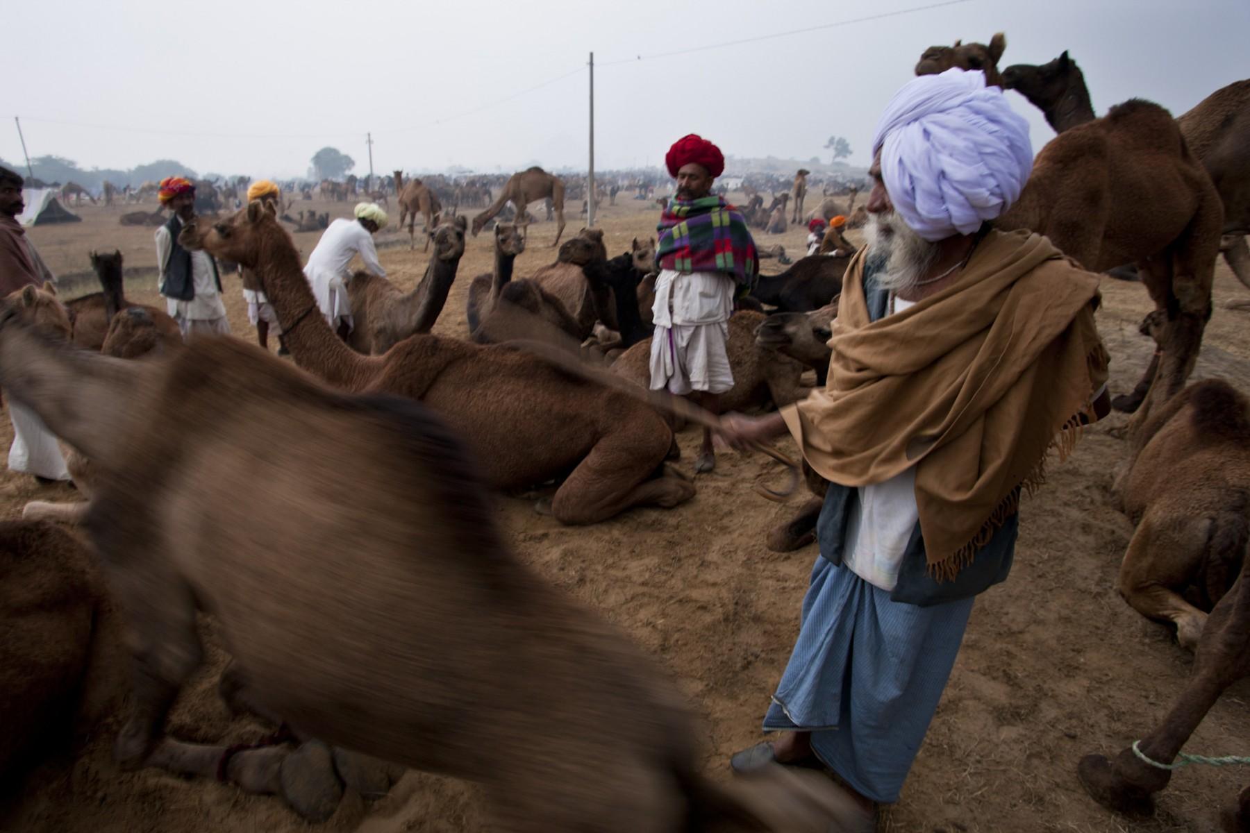 Inspecting the camels at Pushkar