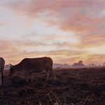 Attending to his cows at dawn