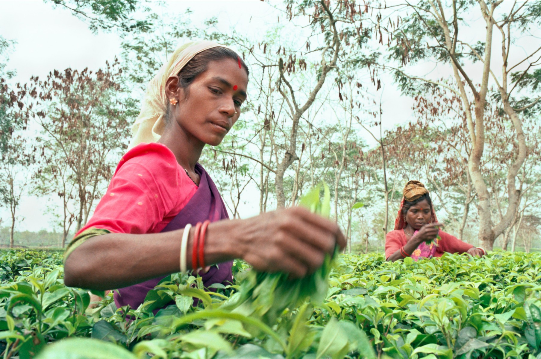Tea plucking