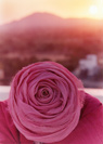 Turbaned Rose, Amritvela